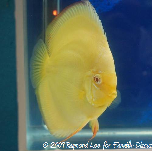 Discus mâle Grand Champion Aquarama 2009