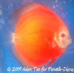 Discus solid red