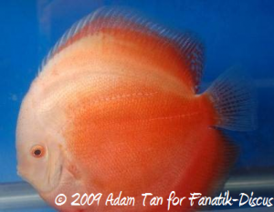 Discus white red Aquarama 2009