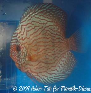 Discus turquoise Aquarama 2009