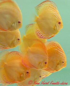 Photo discus golden albino