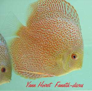 photo Discus red spotted snakeskin