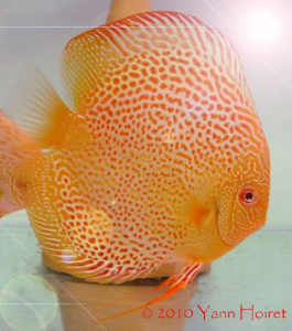 Discus red spotted snakeskin albinos