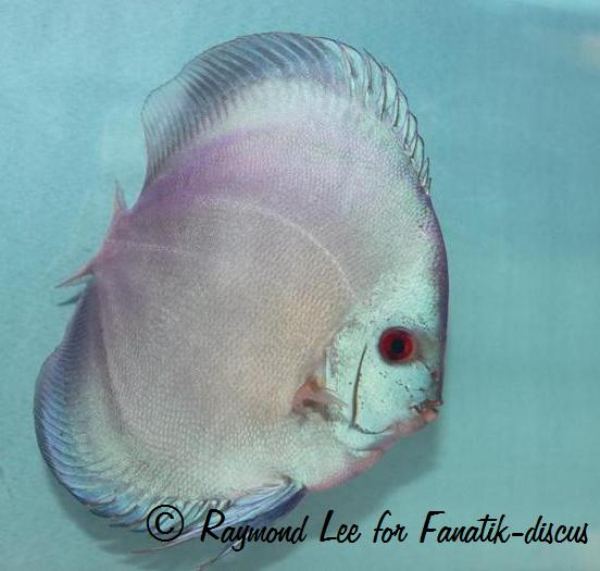 Discus blue diamond Singapour 2010
