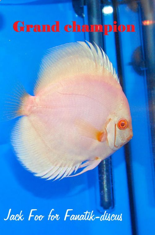 Discus blue diamond albinos
