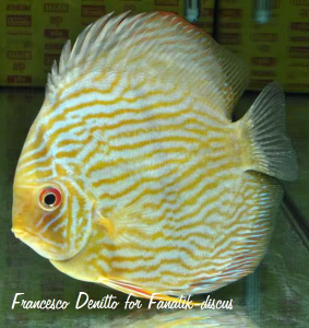 Discus heckel sauvage