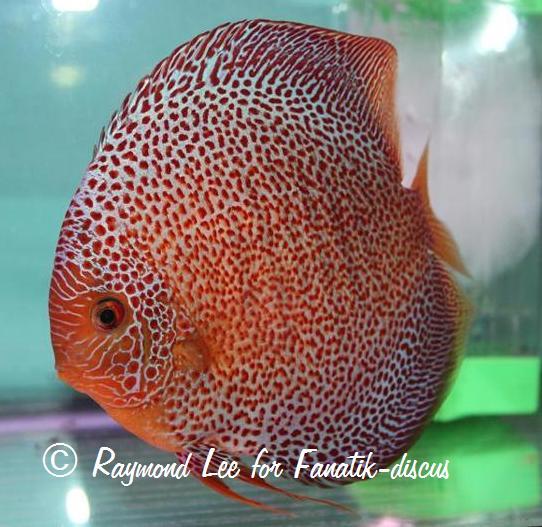 discus le poisson d aquarium sur fanatik discus
