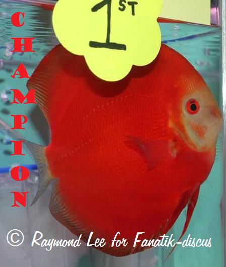 Discus solid red Grand champion Singapour 2010