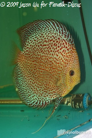 Discus red spotted snakeskin Wayne ng