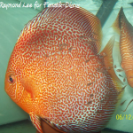 Discus red spotted snakeskin de Raymond Lee
