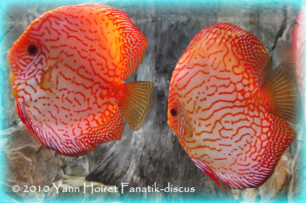 Pigeon Blood stand Discus Portale