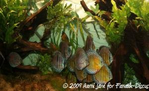 Groupe de discus sauvages Heckel et Nhamunda blue
