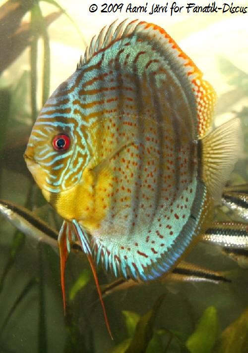 Discus vert Téfé en aquarium