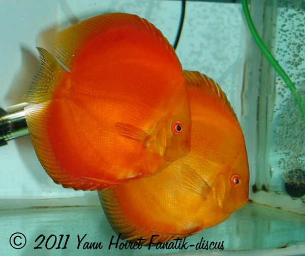 Couple de discus red melon Yann Hoiret