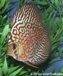"Discus turquoise ""red diamond"" SG discus"