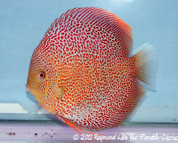 Discus 1st categorie Red Spotted snakeskin Singapour