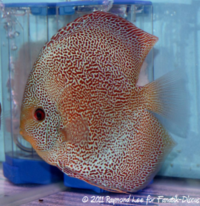 Discus 2nd categorie Red Spotted snakeskin Singapour