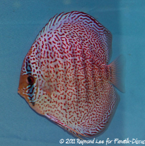 Discus 2nd categorie Red Spotted Singapour