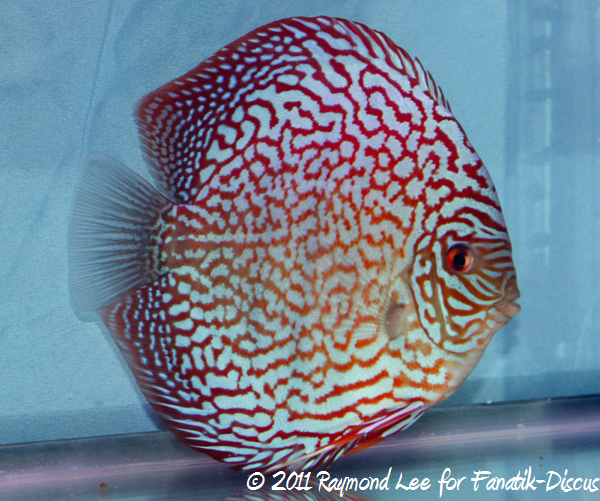 Discus 1St categorie Turquoise Pattern / Stripes Singapour