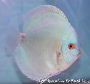 Discus 3rd categorie Blue/Green Singapour