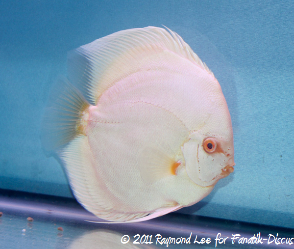 Discus 1St categorie solid albinos Singapour