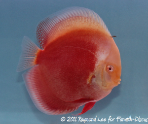 Discus 2nd categorie solid albinos Singapour