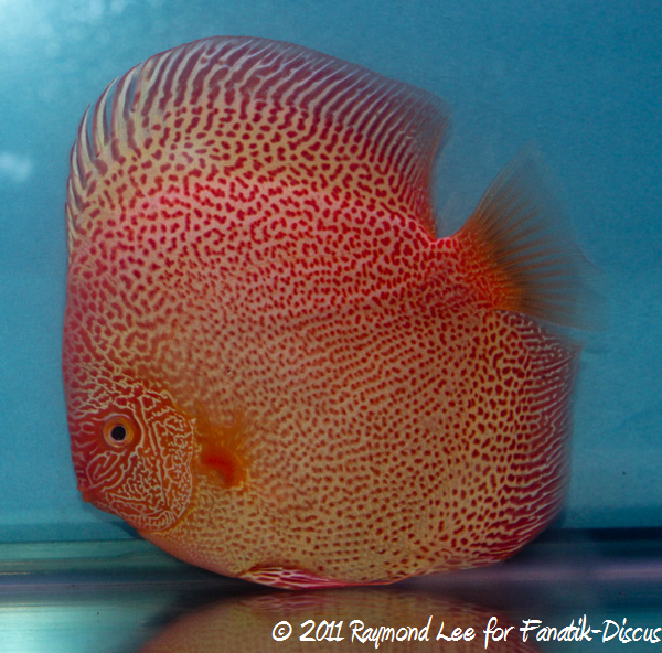 Discus 1St categorie Pattern / Striped albinos Singapour