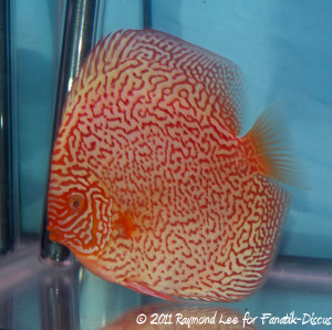 Discus 2nd categorie Pattern / Striped albinos Singapour