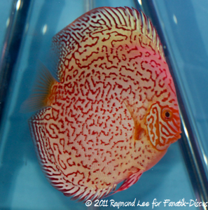 Discus 3rd categorie Pattern / Striped albinos Singapour