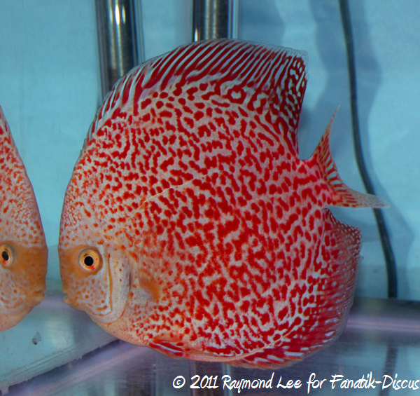 Discus 1St categorie Open Pattern / Striped / Spotted Singapour