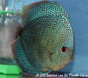 Discus 3rd categorie Open Pattern / Striped / Spotted Singapour 2011