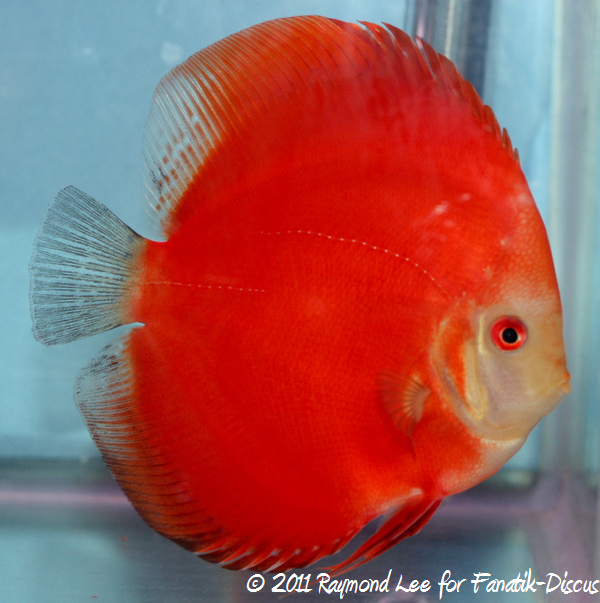 Discus 1St categorie Jeune adulte solid Singapour 2011