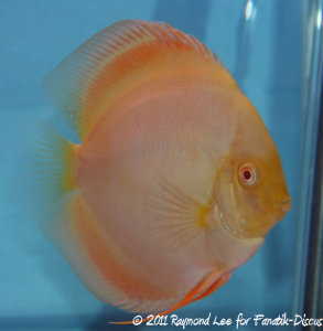 Discus 2nd categorie jeune adulte solid Singapour 2011