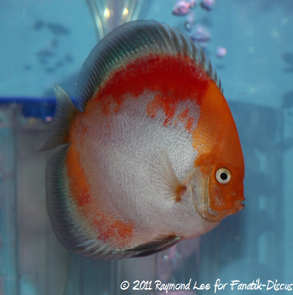 Discus 1St categorie jeune adulte Pattern / Stripped / Spotted Singapour 2011