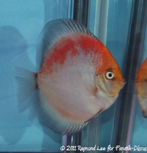 Discus 2nd categorie jeune adulte Pattern / Stripped / Spotted Singapour 2011