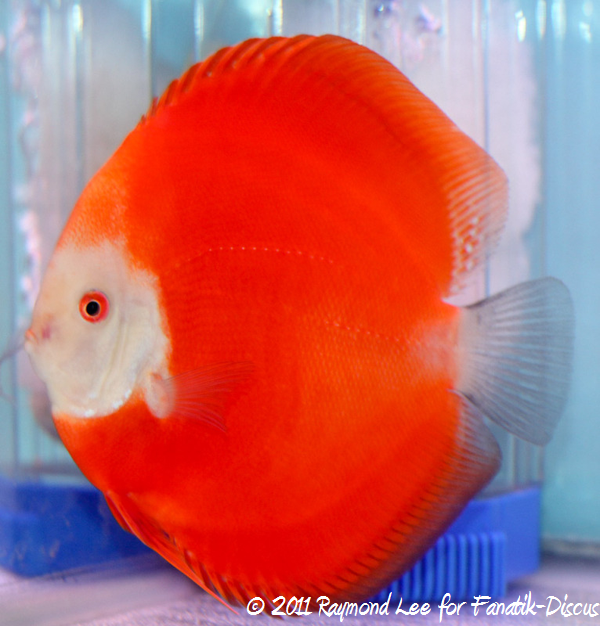 Discus 1st categorie Red/Brown Singapour