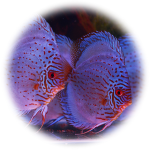 Discus Blue Knight Wayne Discus Center