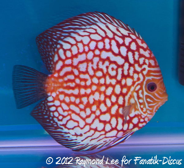 Discus pigeon blood 1st Malaysian discus show 2012