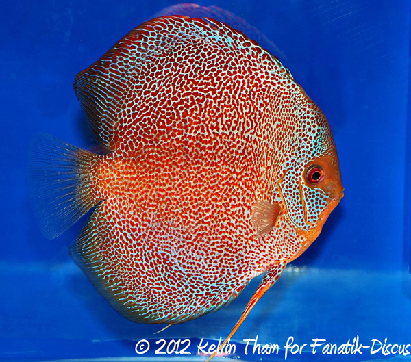 Discus red spotted snakeskin 1st Malaysian discus show 2012