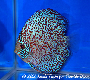 Discus leopard spotted 3rd Malaysian discus show 2012