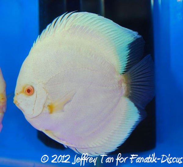 Discus open solid 1st Malaysian discus show 2012