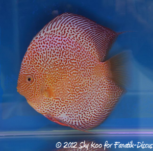 Discus open pattern 1st Malaysian discus show 2012