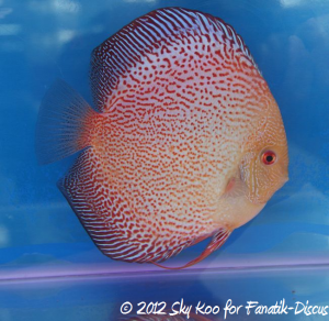 Discus open pattern 3rd Malaysian discus show 2012