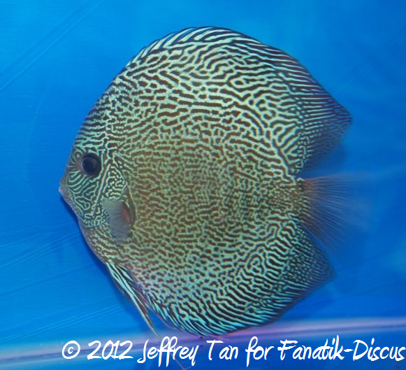 Discus snakeskin 1st Malaysian discus show 2012