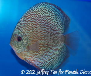 Discus snakeskin 2nd Malaysian discus show 2012