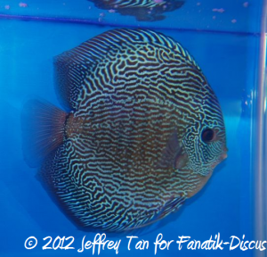 Discus snakeskin 3rd Malaysian discus show 2012