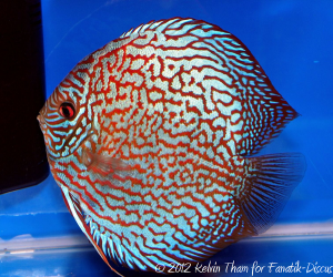 Discus turquoise 1st Malaysia discus show 2012