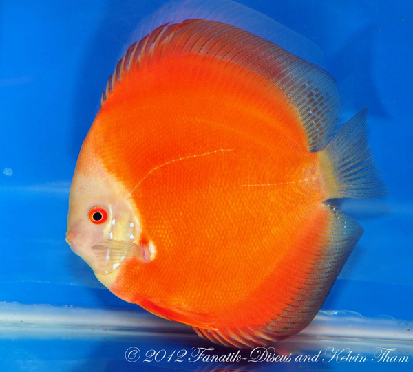 Discus solid red 1st Malaysian discus show 2012