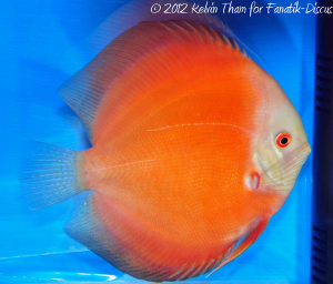 Discus solid red 2nd Malaysian discus show 2012