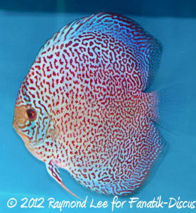 Discus leopard spotted 2nd Malaysian discus show 2012